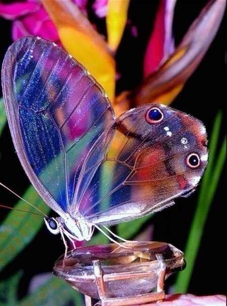 Beautiful Glass Butterfly: Beautiful Butterflies, Animals, Nature, Glasses, Color, Wings, Wing Butterfly, Glass Wing