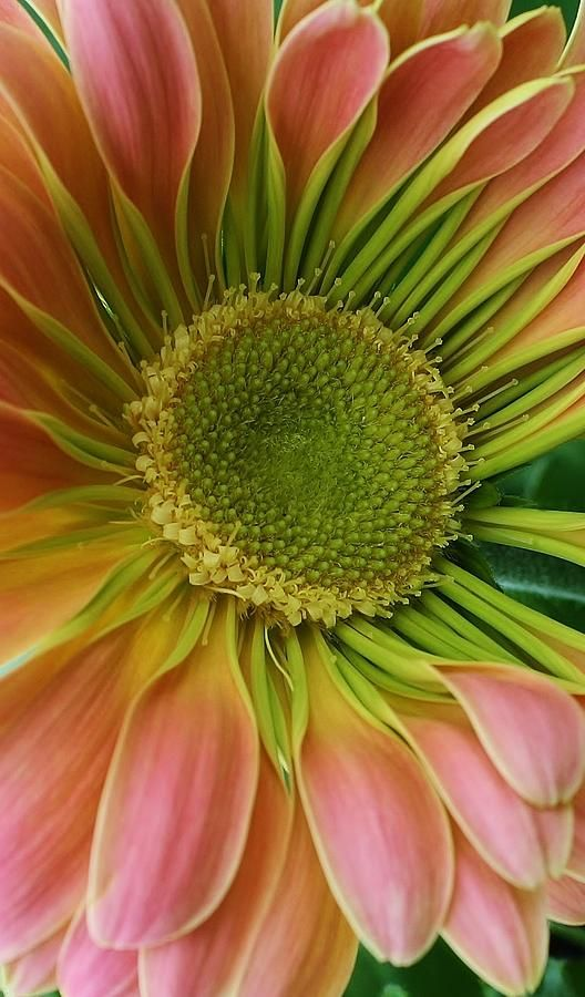 Beauty Within A Gerbera Daisy (By Bruce Bley): Nature, Flowers Plant, Flowers Photos, Flower Power, Beautiful Flowers, Flowers Flores, Bloom, Beauty, Colors Flowers