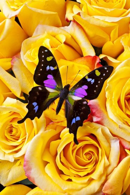 Black & Pink Butterfly & Roses.That looks very pretty. Please check out my website Thanks.  www.photopix.co.nz: Beautiful Butterflies, Pink Butterfly, Butterfly Art, Flutterby, Garry Gay, Yellow Roses