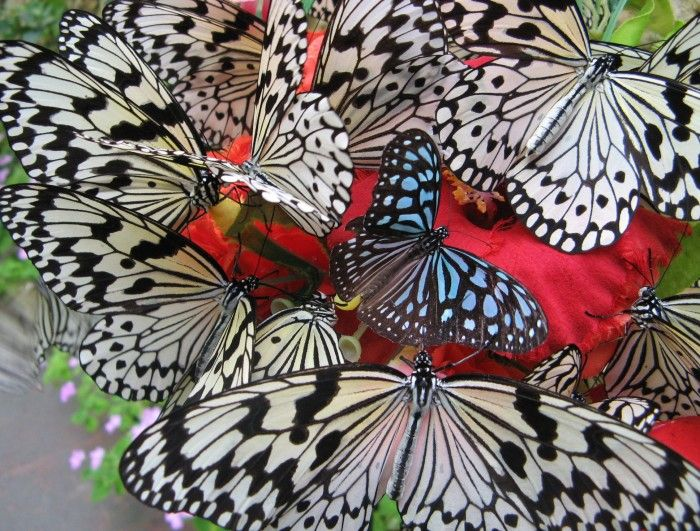 Black & white butterflies with a touch of color: Beautiful Butterflies, Animals, Nature, Beauty, Things, Birds, Photo