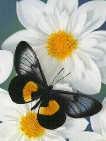 Black and a daisy: Beautiful Butterflies, Butterflies Dragonflies, Miyana Meyeri, Meyeri Butterfly, Flutterby, Butterflies Moth, Flower