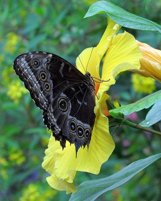 Black Butterfly on Yellow Flowers: Beautiful Butterflies, Black Butterflies, Flutterby, Photo, Yellow Flower, Animal