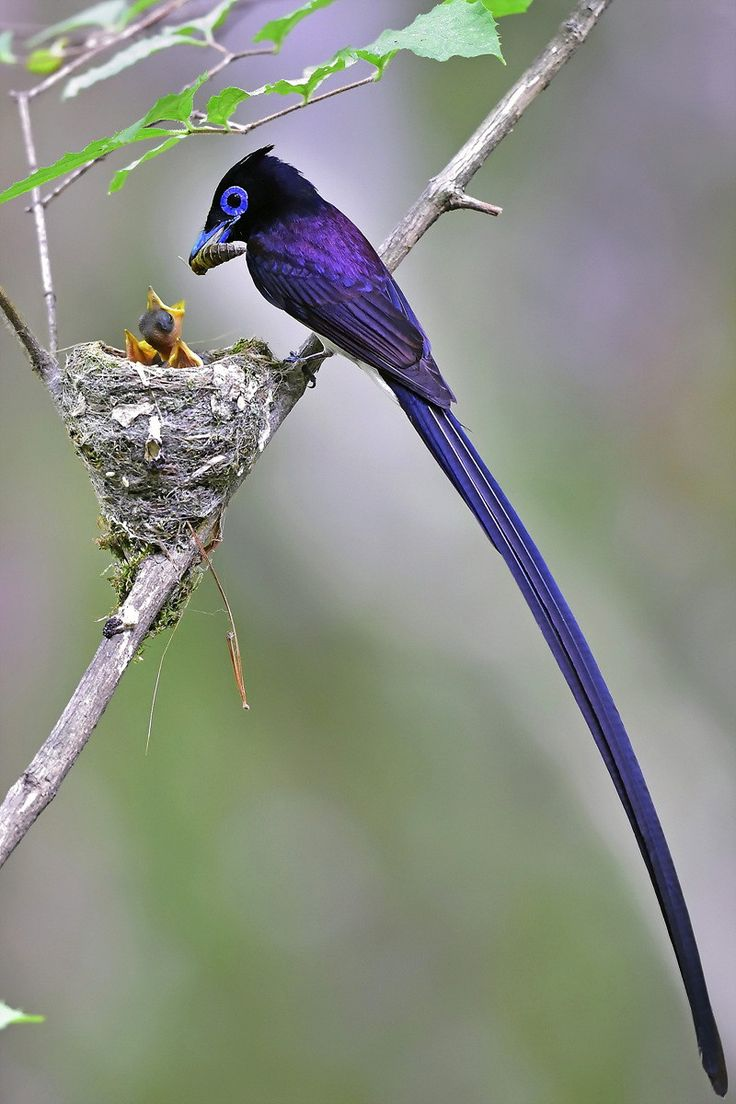 Black Paradise Flycatcher Young Sung Bae A male, with very long tail feathers, feeding chicks.: Animals, Beautiful Birds, Sung Bae, Ave