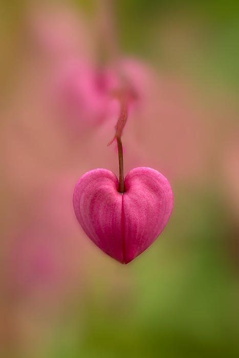Bleeding Heart Flower Print By Jaroslaw Blaminsky: Heart, Bleeding Hearts, Bleeding Heart Flower, Pink, Garden, Hearts ️