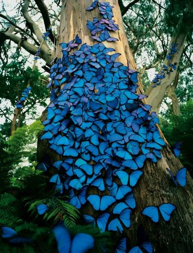 blue morpho butterfly tree: Beautiful Butterflies, Blue Butterflies, Beautiful Blue, Blue Butterfly, Nature, Color, Flutterby, Blue Morpho, Animal