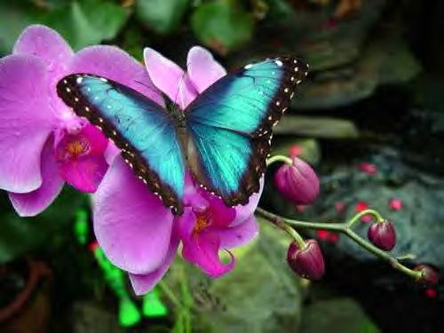 Blue morphos live in the tropical forests of Latin America from Mexico to Colombia.: Beautiful Butterflies, Blue Butterfly, Color, Flowers, Blue Morpho, Photo, Animal