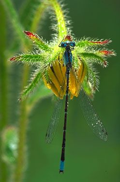 bokeh photography dragonfly insect ( I believe this is a damselfly): Butterflies Dragonflies, Bokeh Photography, Beauty Insects, Nice Photo