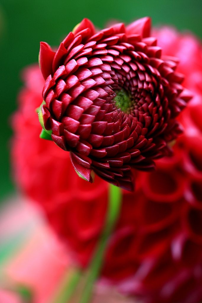 Budding Dahlia. Gorgeous - what a stunning display of nature's beauty. Love it! What are you waiting for, repin it! :): Flowers Gardens, Red, Color, Dahlias, Beautiful Flowers