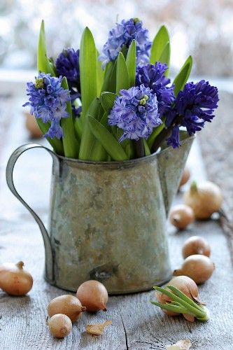 bulbos: Ideas, Spring Flower, Blue, Watering Cans, Flowers, Garden, Floral