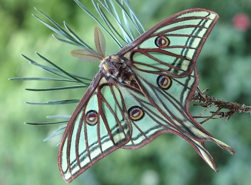 Burn this Natural except for a blue wash for the wings. This would make a great pendant.: Butterflies Bees Insects Bugs, Butterflies Dragonflies Moths, Luna Moth, Moon Moth, Spanish Moon, Butterflys Moths, Aqua