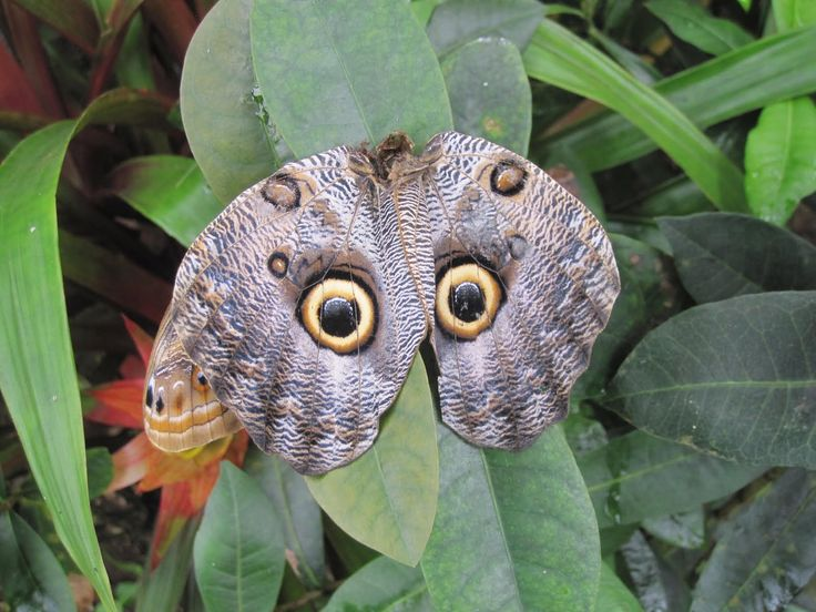 Butterflies in the genus Caligo are commonly called owl butterflies, after their huge eyespots, which resemble owls' eyes. They are found in the rainforests, Mexico, the Amazon..AMAZING!: Animals, Owl Eyes, Butterflies, Flutterby, Birds