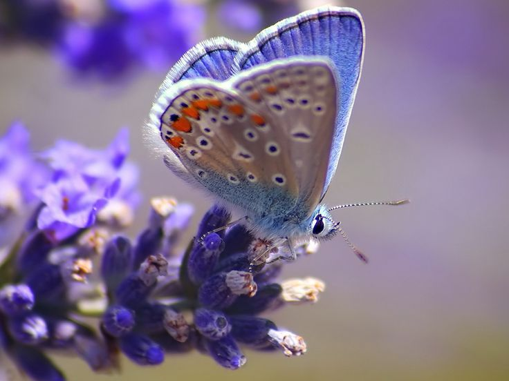 butterfly: Beautiful Butterflies, Animals, Nature, Color, Blue, Beauty, Photo, Flower