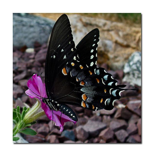 Butterfly Butterfly: Beautiful Butterflies, Beauty, Flower, Animal