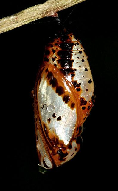 Butterfly Cocoon | Flickr - Photo Sharing!: Photos, Butterfly Cocoons, Cocoon Nature, Flickr Photo, Cocoons Chrysalis, Photo Sharing