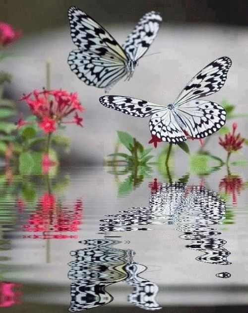 ✯Butterfly Reflections: Beautiful Butterflies, Animals, Nature, Black And White, Art