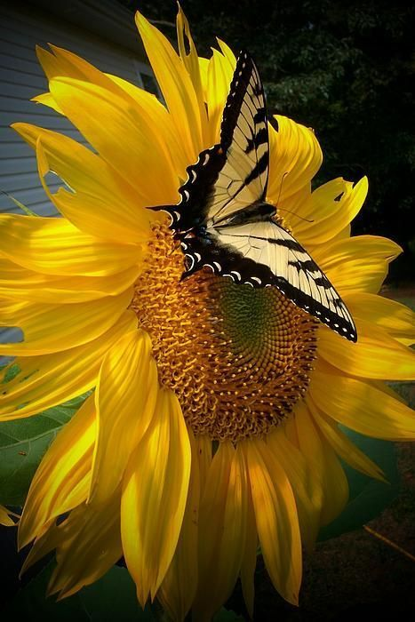 Butterfly Visiting a Sunflower by Rebecca Haas: Beautiful Butterflies, Butterfly, Nature, Sunflowers, Beauty, Yellow, Flower