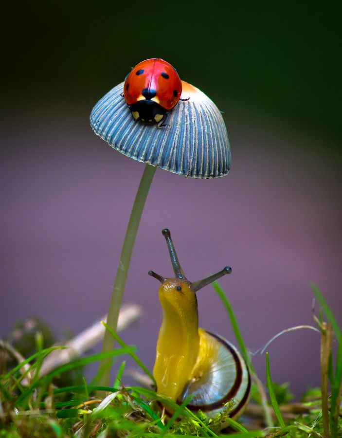 "by Darrell Raw ~ Miks' Pics ""Arachnids and  Insects l"" board @ http://www.pinterest.com/msmgish/arachnids-and-insects-l/: Snails, Animals, Nature, Ladybugs, Ladybird, Lady Bugs, Photo"