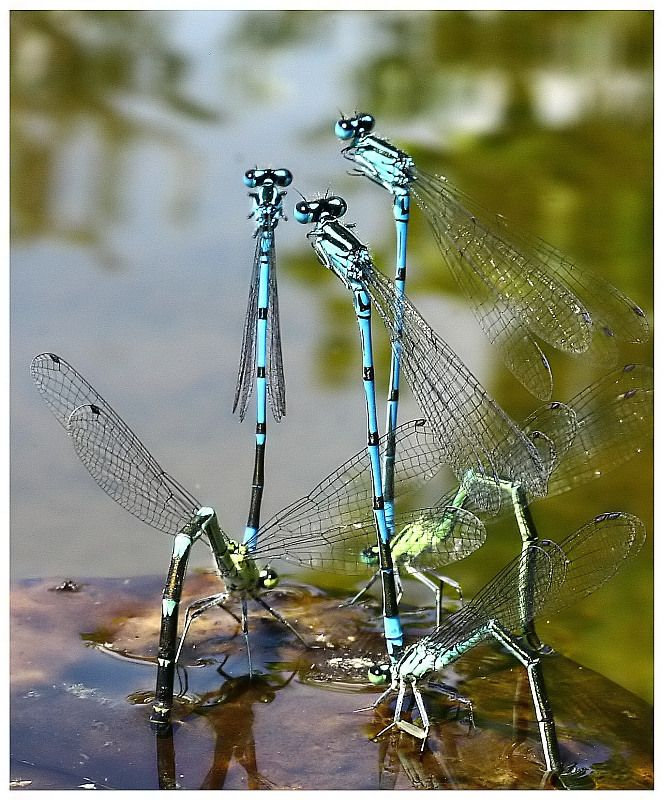 By: Wolfgang Plautz: Nature, Butterflies, Wings, Gardens Animals Bugs, Damsel Flies, Beautiful Dragonflies, Dragonfly Damselfly, Photo