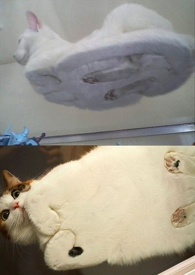 Cats on glass. This makes my day, haha: Cats, Kitty Cat, Funny Cat, Fat Cat, Crazy Cat, Funny Stuff, Glass Tables, Animal