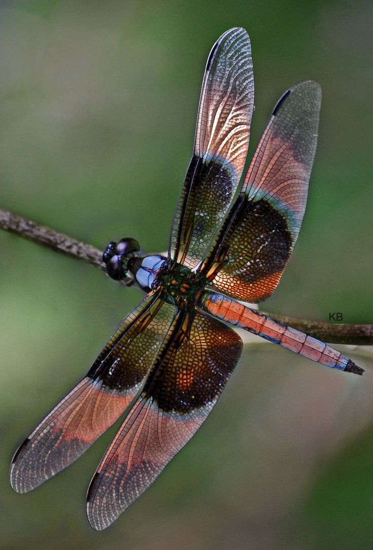 colorful pictures of dragon flies | File:Dragonfly colourful wings.jpg - Wikimedia Commons: Dragon Flies, Butterflies Dragonflies Moths, Dragonfly S, Flutterby, Dragon-Fly
