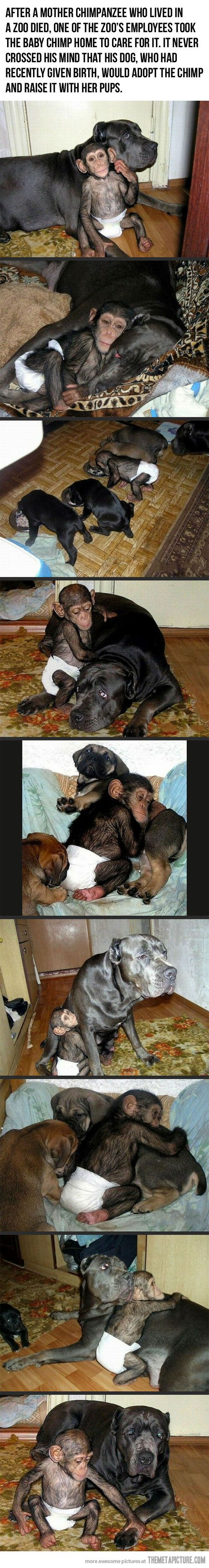 cutest thing ever: Animals, Sweet, Adopts Baby, Baby Chimpanzee, My Heart, Cutest Things, Baby Monkeys, Dog Adopts, Cane Corso