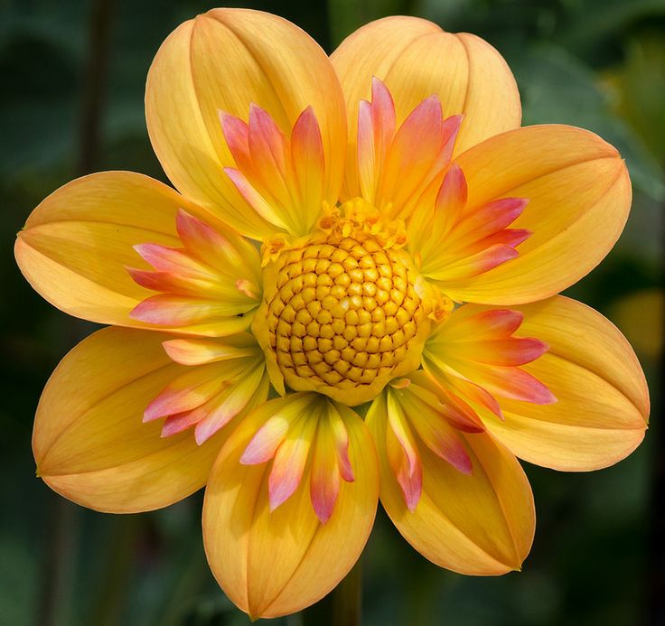 Dahlia 'Kelsey Annie Joy': Orange Flower, Annie Joy, Dahlias, Beautiful Flowers, Pretty Flowers, Garden, Kelsey Annie, Dahlia Kelsey