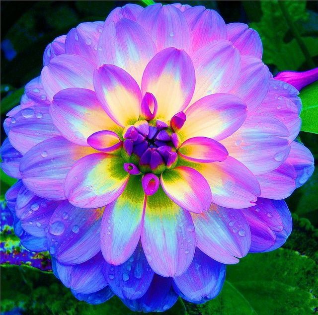 Dahlia is a genus of bushy, tuberous, herbaceous perennial plants native to Mexico, Central America, and Colombia. A member of the Asteraceae or Compositae, dicotyledonous plants, related species include the sunflower, daisy, chrysanthemum and zinnia. The