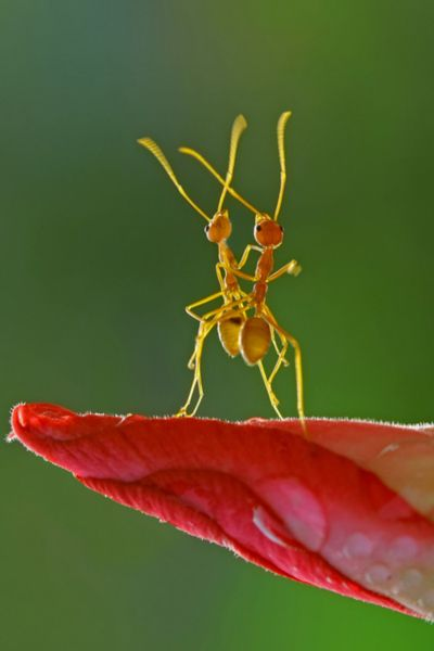 Dancing Ants... by Teguh Santosa    (via n9nlinear) unknownskywalker: Photos, Animals, Nature, Bugs, Dancing Ants, Insects, Firm Santosa, Dance, Photography
