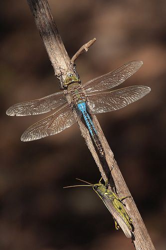 Darner and hopper again: 2Exz Dragonfly, Beautiful Insects, Dragonfly S, Dragonfly Damselfly, Dragonflies, Dragonfly Wing