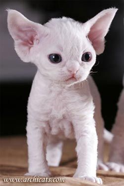 Devon Rex Kitten.  Looks like Yoda as a kitten, and ET as an adult if you hold the ears back!: Cats, Cornish Rex, Hairless Kitten, Hairless Cat, Devon Rex, Sphynx Cat, Kitty, Animal