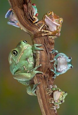 **Different tree frogs sitting together on a branch ~ By Cathy Keifer: Frogs Sitting, Tree Frogs, Animal