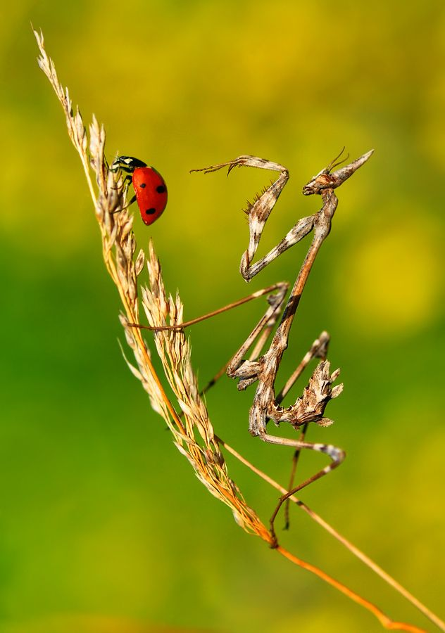 Do not touch by Mustafa Öztürk, via 500px: Dinner, Les Animalsa, Ladybugs Birds, Ladybirds Ladybugs, Ladybugs Galore, Photo