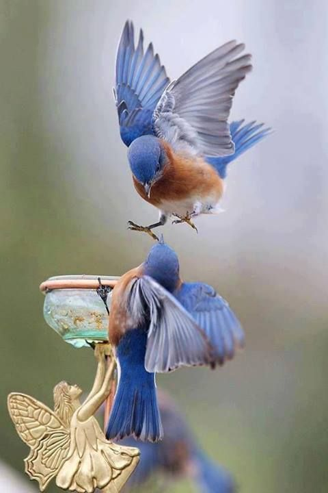 Don't forget when designing your garden that you won't be the only one using it.  Remember to make a space for wildlife to enjoy your little slice of nature. - Bluebirds in the garden.: Bluebirds, Animals, Nature, Wings, Birdie, Beautiful Birds, B