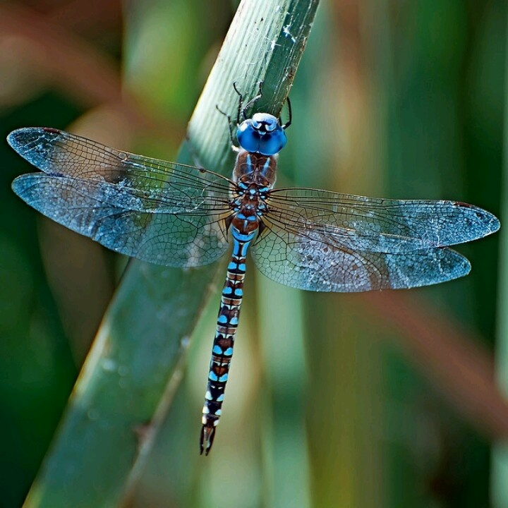 Dragonfly: Blue Dragonfly, Butterflies Dragonflies, Dragon Flies, Animals, Dragonfly S