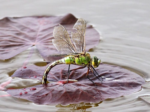 Dragonfly: Butterfly S Dragonfly S, Animals, Dragonflies Butterflies, Butterflys Bees Insects, Art, Dragonflies Living, Dragon-Fly, Dragonflies Beauty Bugs