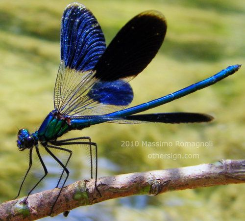 ✿  Dragonfly Calopteryx Splendens ~  by  Othersign ~  http://othersign.deviantart.com/  ✿: Butterflies Dragonflies, Butterfly, Creatures, Dragonfly Calopteryx, Dragon-Fly, Photo