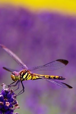 dragonfly in a purple field: Butterflies Dragonflies, Dragon Flies, Butterfly, Purple, Beautiful, Animal