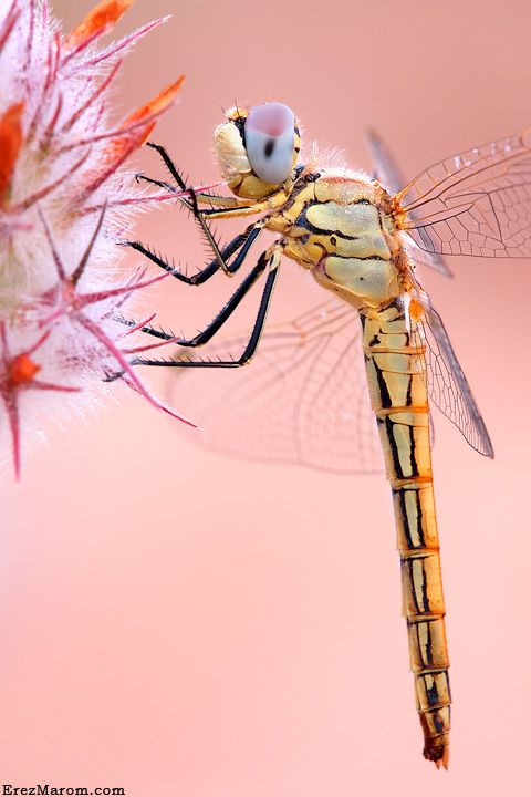 dragonfly macro.: Dragonfly S, Dragonfly Profile, Photo, Dragonflies
