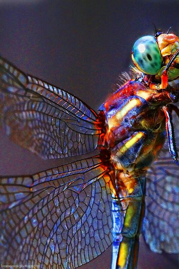 Dragonfly spectacular colour.Tell me that's not God having fun!: Dragon Flies, Nature, Color, Dragonfly, Dragonflies, Animal