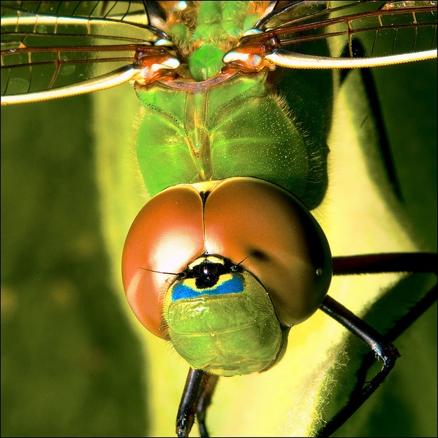 Dragonfly!  There's that one eye again!    Or...I guess this means they have three!: Amazing, Macros, Macro Photography, Bugs Photography, Bugs Life, Eye, Dragonflies