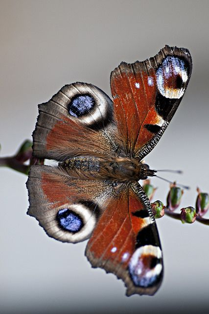 European Peacock: Butterflies Moths Misc Insects, Flutterbye S, Animals Insects Nature