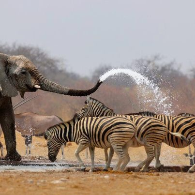 - Explore the World with Travel Nerd Nici, one Country at a Time. http://TravelNerdNici.com: Showers, Elephants, Animals, Nature, Animal Kingdom, Shower Time, Photo, Friend, Zebras