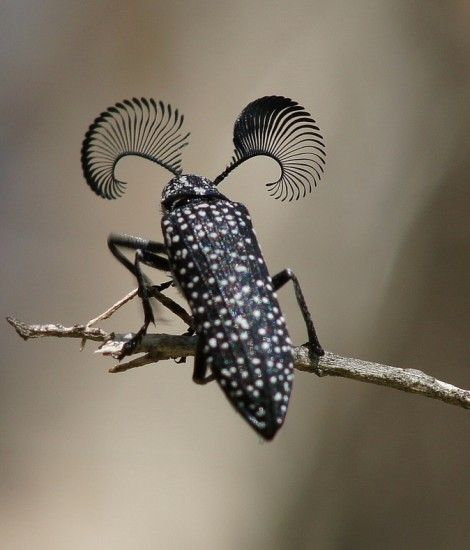 Feather Horned Beetle with Long Bushy 'Eyebrows'(Rhipicera femorata) by thefeaturedcreature: Males use their fantastic (hah!) antennae to locate a female feather-horned beetle that's emitting pheromones which indicate she is ready for mating. Phot