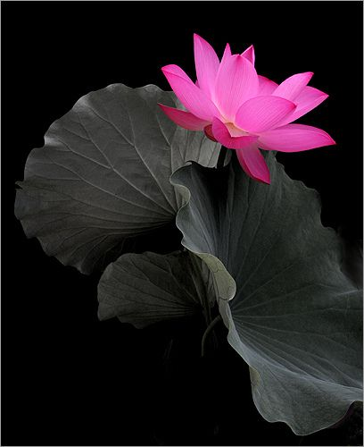 Flower / Lotus Flower / Pink Flower / pink /  - زهرة اللوتس, ハスの花, 莲花, گل لوتوس, Fleur de Lotus, Lotosblume, कुंद, 연꽃 by Bahman Farzad on Flickr.: Pink Flowers, De Lotus, Lotus Flowers, Flower Color, Black Pink, Pink Beauty, Color Splash, Beautiful Flower