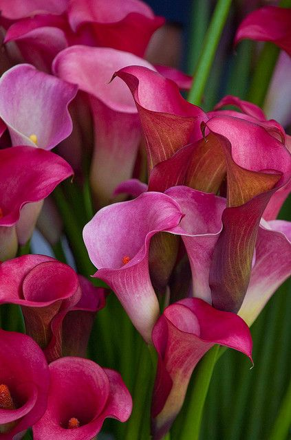 #flowers Vibrant Calla Lillies Live a luscious life with LUSCIOUS: www.myLusciousLife.com: Calla Lilies, Callalily, Beautiful Flowers, Pink Calla, Garden, Calla Lillies, Calla Lily, Favorite Flower, Callalilies