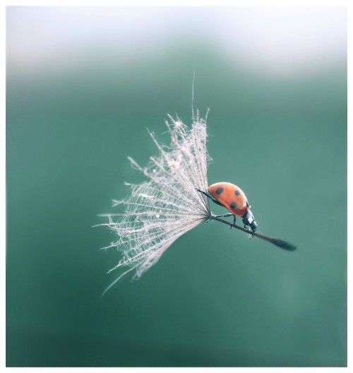 flying.........: Picture, Photos, Animals, Life, Nature, Ladybugs, Photography