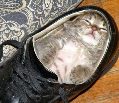 For everything God created is good...for it is sanctified by God's word and prayer.: Cats, Shoes, Fit, Animals, Funny, Kittens, Kitty