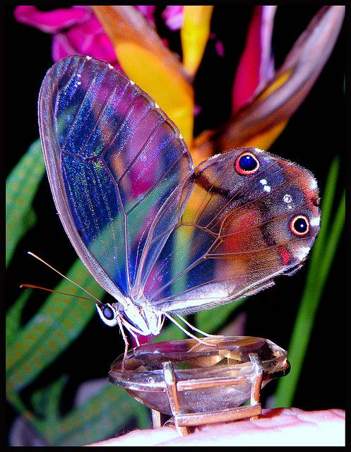 Glasswing butterfly.: Beautiful Butterflies, Animals, Glasses, Nature, Color, Wings, Wing Butterfly, Glass Wing