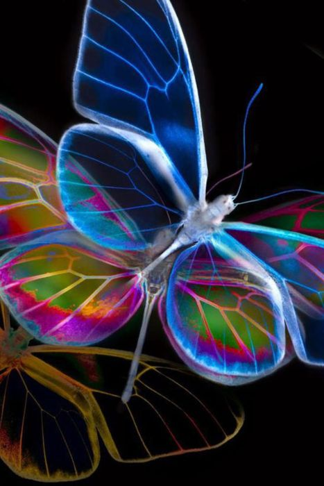 Glasswings  NOTE to originator of this board. Would you kindly invite me to join this board?  I have 1100 followers and similar interests.  • • •  Thanks. @Linda Bruinenberg Bruinenberg Bruinenberg Bruinenberg Welker: Beautiful Butterflies, Color, Neon, A