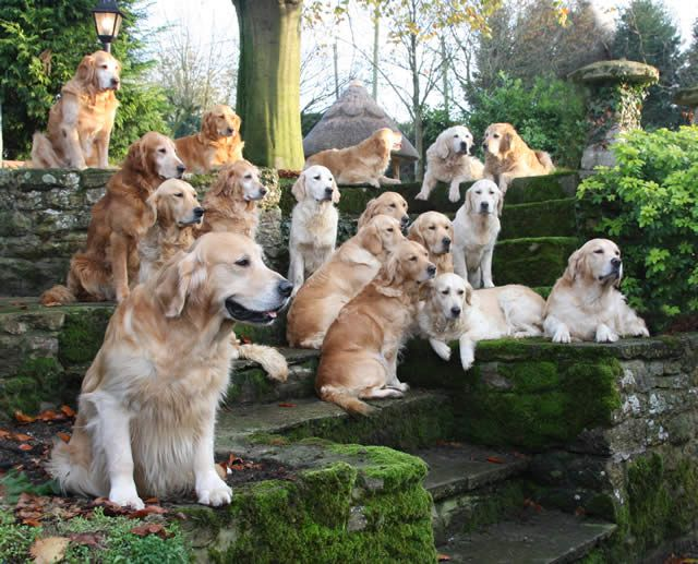 Golden Gates of Heaven. At least, this is what MY heaven would probably look like.: Animals, Goldenretrievers, Dogs, Golden Retrievers, Pet, Friend, Heavens